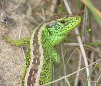 Dune race sand lizard male  copyright Peter Hill