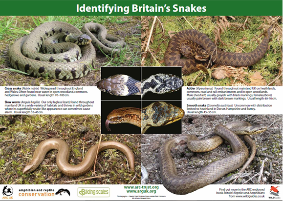 Identify Britians snakes - ARC poster