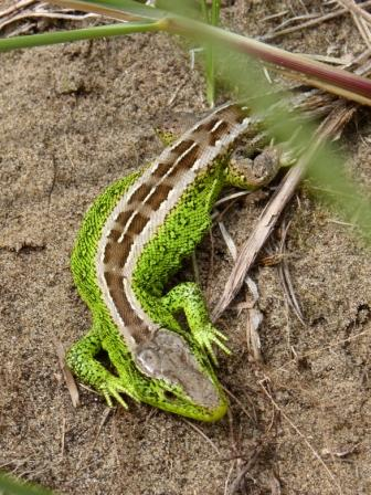 Male Sand Lizard Sefton Coast - copyright NMARG for web