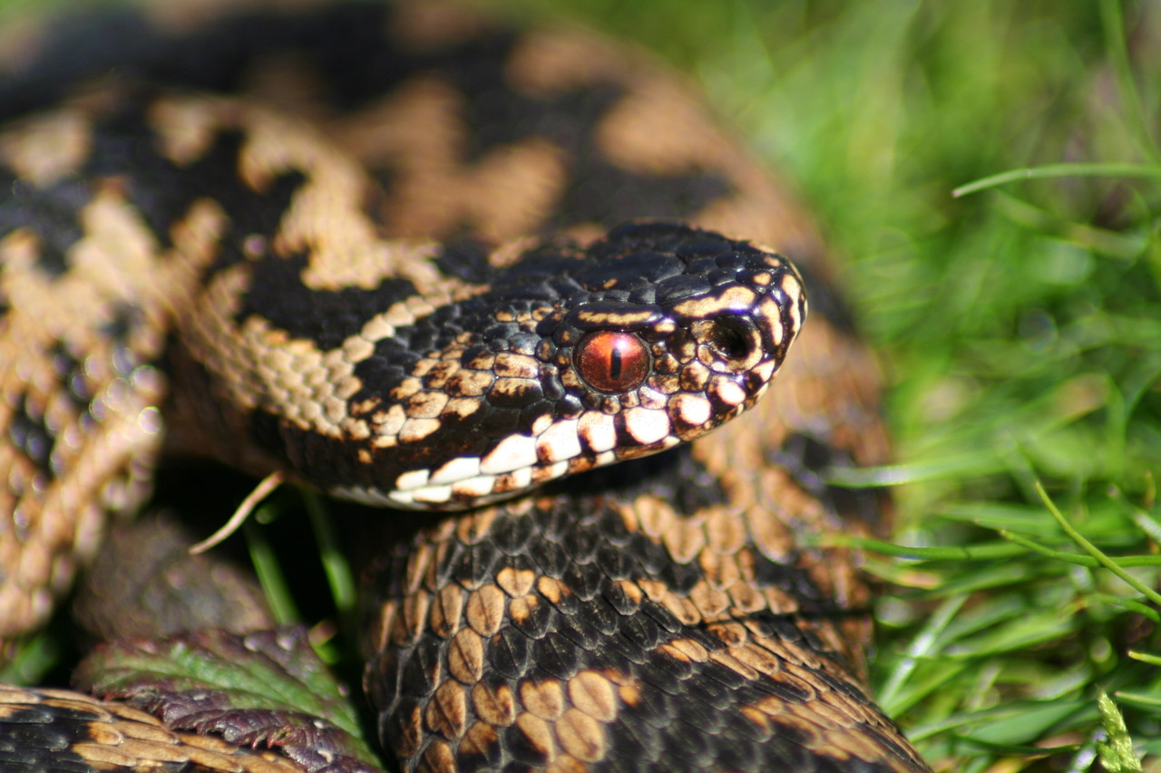 Adder copyright Nigel Hand