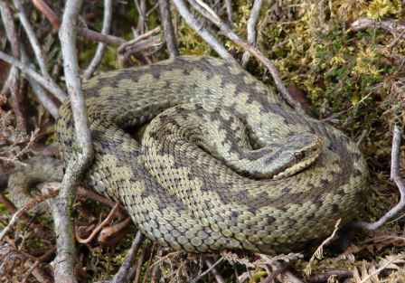 Adder copyright Paul Hudson