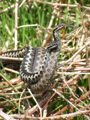 Adders in combat © Jon Cranfield